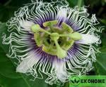 Passiflora edulis (granadilla) - пассифлора съедобная (маракуйя)