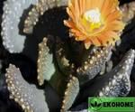 Алоинопсис малерба - aloinopsis malherbei