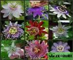 Passiflora mix - пассифлора микс