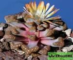 Titanopsis hugo-schlechteri - титанопсис хьюго-шлехтера