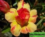 Adenium obesum double flower yellow era (адениум тучный махровый желтая эпоха)