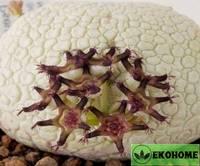 Pseudolithos miguirtinus - псевдолитос мигуиртинус