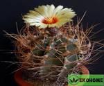 Astrophytum senile v. Aureum (астрофитум старческий)