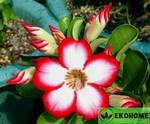 Адениум мини утренняя звезда (бело-розовые цветки) - adenium obesum mini size sunup star