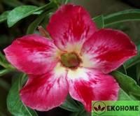 Adenium obesum desert rose halloween