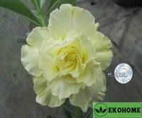 Adenium obesum hybrid ko_41