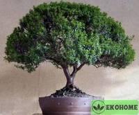 Эвкалипт торкуата - eucalyptus torquata - эвкалипт закрученный