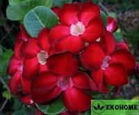Адениум мини красный (красные цветки) - adenium obesum mini size red
