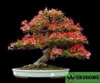 Рододендрон гибрид смесь №1 - rhododendron hybriden mix №1