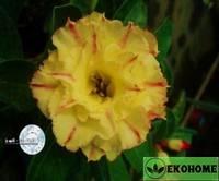 Adenium obesum hybrid ko_26