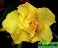 Adenium obesum double flower king pure yellow (адениум двойной цветок желтый король)