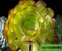 Aeonium canariense - эониум канариенсе