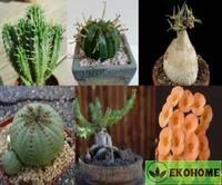 Euphorbia mix - смесь разных видов эуфорбий