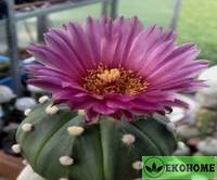 Astrophytum asterias violet flower (астрофитум астериас фиолетовоцветковый)