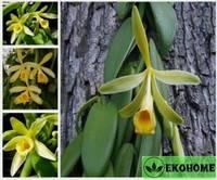 Vanilia planifolla - орхидея ваниль