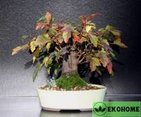 Acer ginnala - клен гиннала (приречный)