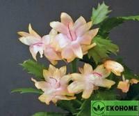 Schlumbergera truncatus golden perfection