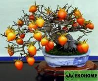 Хурма  diospyros rhombifolia
