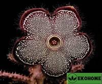 Edithcolea grandis - эдитколея грандис