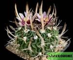 Echinofossulocactus grandicornis - эхинофоссулокактус крупнорогий