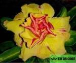 Adenium obesum triple flower yellow lemon (адениум тучный с махровыми цветками желтый лимон)