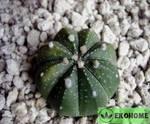 Astrophytum ascap