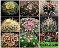 Echinofossulocactus gibriden mix - эхинофоссулокактус смесь гибридов