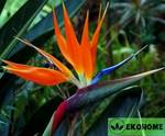 Стрелиция королевская - strelitzia reginae
