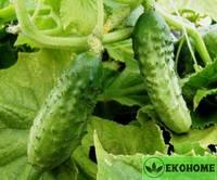 """Огурец """"северный засолочный""""f1 - cucumber """"northern pickling""""f1"""