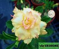 Adenium obesum hybrid ko_28