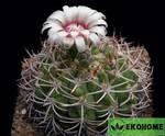 Gymnocalycium nigriareolatum densispinum (гимнокалициум нигриареолатум денсиспинум)