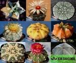 Astrophytum kultivar mix - cмесь японских культиваров астрофитумов