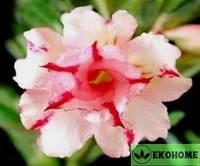 Adenium obesum double flower jabulani