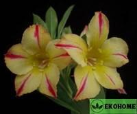 Adenium obesum sunflower (адениум обесум солнечный цветок)