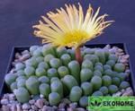Fenestraria aurantiaca - фенестрария оранжевая