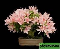 Рододендрон гибрид смесь №2 - rhododendron hybriden mix №2