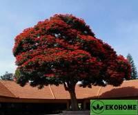 Спатодея кампанулата (тюльпанное дерево) - spathodea campanulata