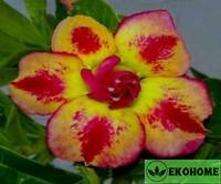 Adenium obesum double flower sunset (адениум обесум с двойными цветками закат солнца)