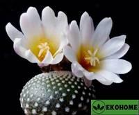 Blossfeldia liliputana - блоссфельдия миниатюрная