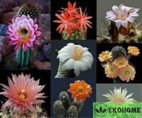 Cactus mix - смесь семян шаровидных и столбчатых кактусов