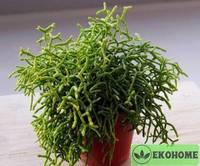 Rhipsalis cereuscula - рипсалис цереусовидный