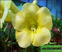 Adenium obesum yellow earth (адениум тучный желтая планета)