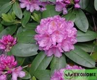 Рододендрон крупнейший - rhododendron maximum