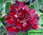 Adenium obesum thailand (адениум обесум таиланд)