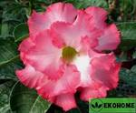 Adenium obesum double flower mermaid