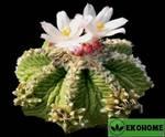 Aztekium ritteri - ацтекиум риттера