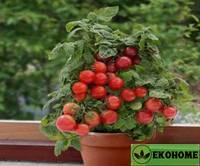 Томат патио  - tomato patio sweet'n'neat red small