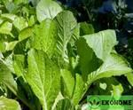 Dijon mustard leaf - горчица листовая дижонская